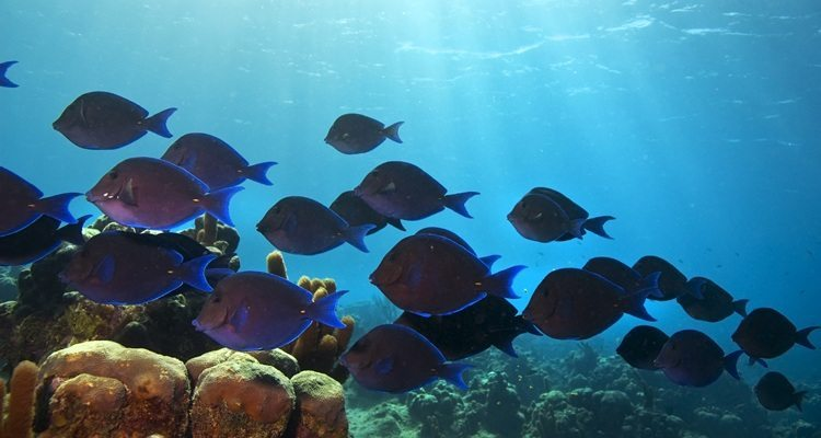 blue-tang-snorkel-vieques