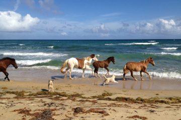 Horses on Vieques Beach