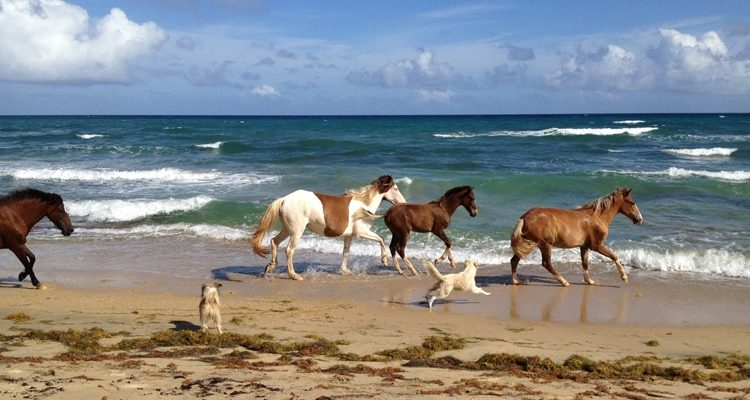 Horses on Vieques Beach