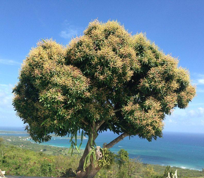 Mango-tree-vieques-PR