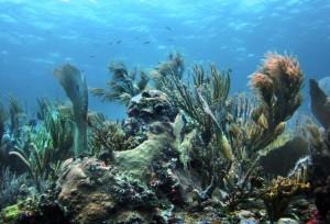 corals-caribbean