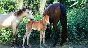 horses-vieques